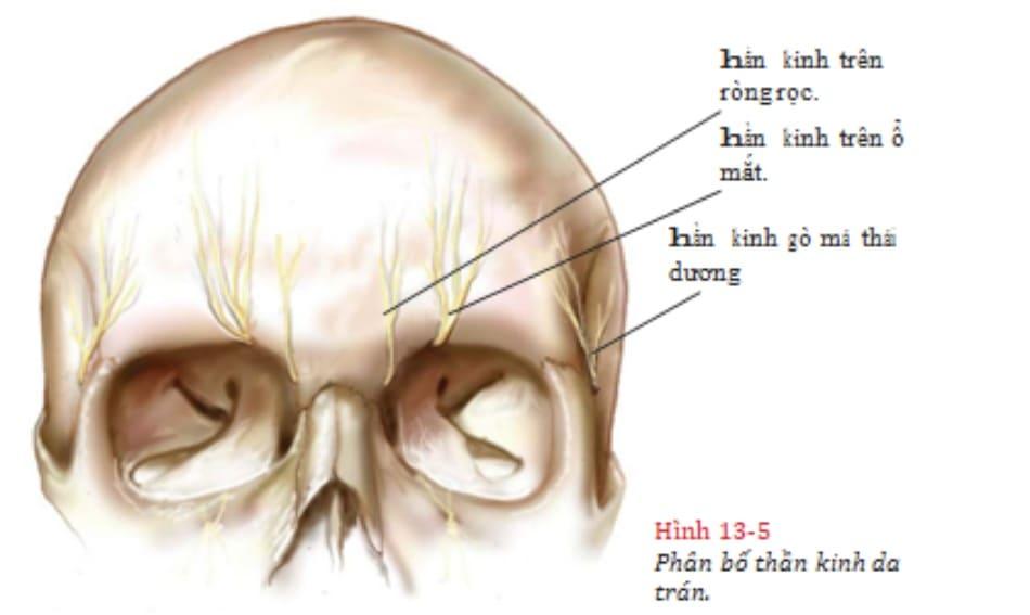Hình 13-5 Phân bố thần kinh da trán.